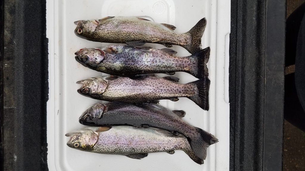 Trout catch and cook | Texas Bass Angler